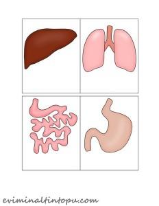 organlarımız temalı kartlar(9)
