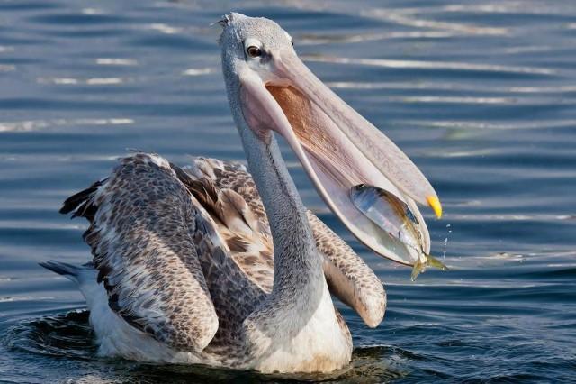 Photo of Pelikanı Tanıyorum