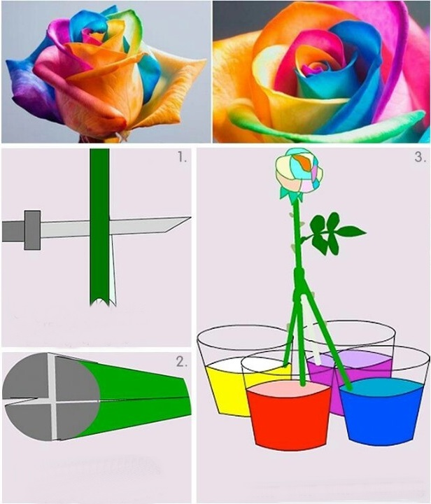 Renkli i ek deneyi okul ev etkinlikleri okul ev for How to make multi colored flowers
