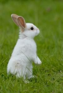 tavşan_aç