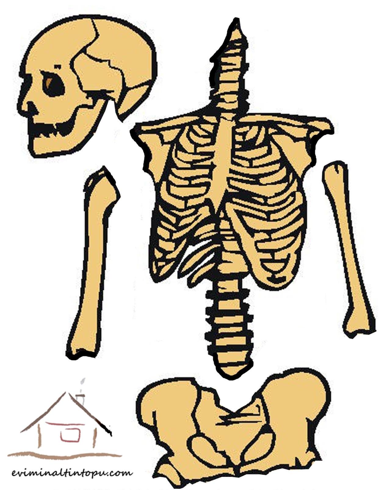 iskelet sistemini öğreniyorum
