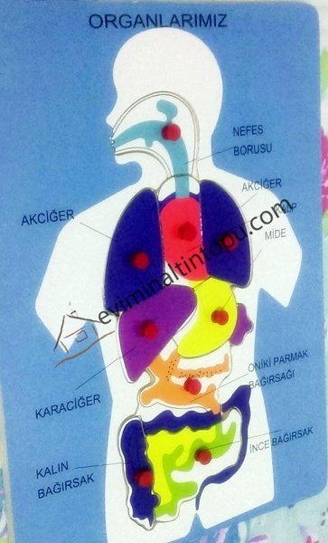 organlar puzzle